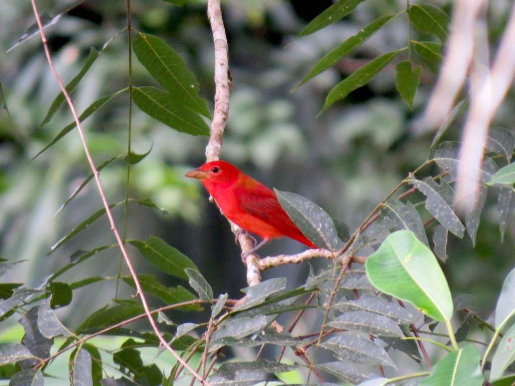B_Summer Tanager