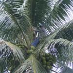 small_Coconuts