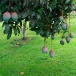 small_mangos