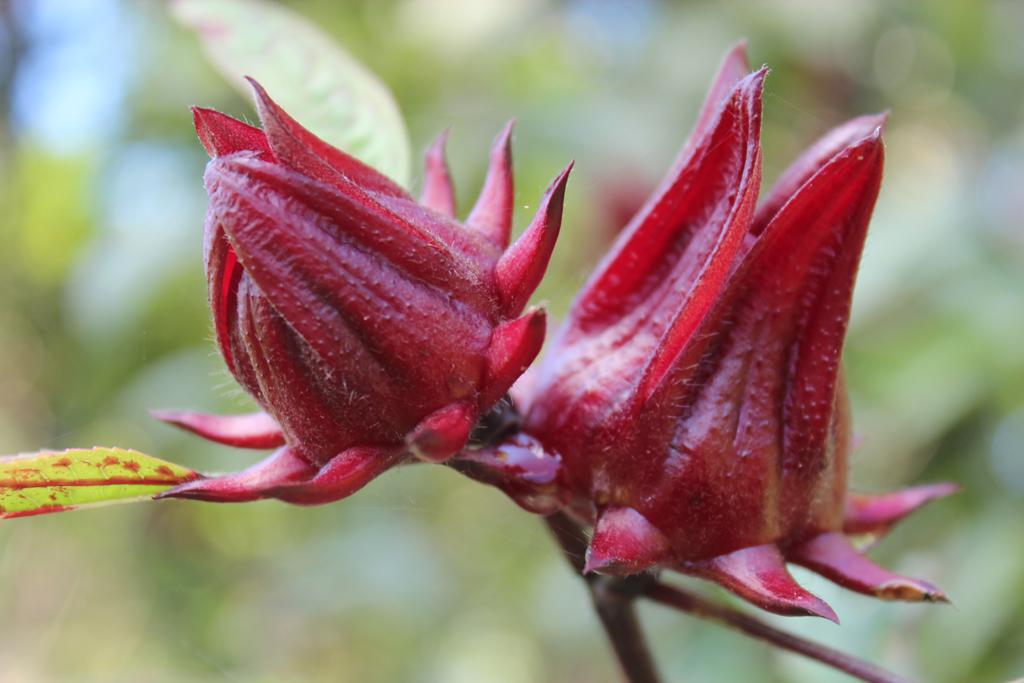 """Sorrel Fruit Hibiscus Wine """"Zaui"""" Belize"""