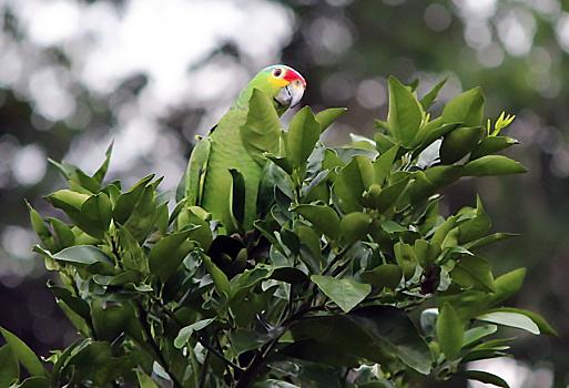 B_Parrot